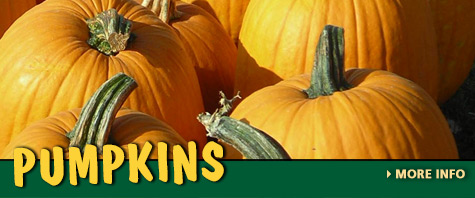 Pick Your Own Pumpkin at Trunnell's Farm Market
